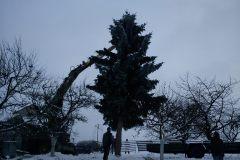 kácení vánočního stromu